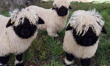 Ai dori o oita Valais Blacknose ca animal de companie?
